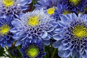 2017.08.21.imagem.300x200.site_.interna.CrisantemoAzul2